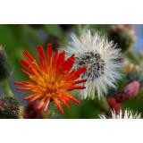 Семена Многолетних цветов