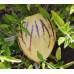 Пепино (Solanum muricatum) / Дынная груша.