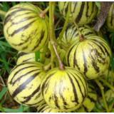 Тзимбало Solanum caripense