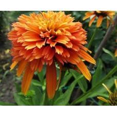 Эхинацея, echinacea Marmalade