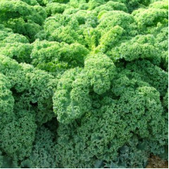 Капуста Кале листовая Зеленая