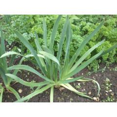 Лук-слизун (Аllium nutans) / лук поникающий, железистый, мангыр, сибирский