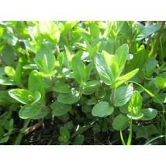 Мята садовая, Mentha spicata