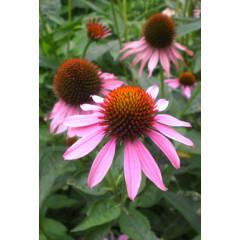 Echinacea purpurea, Эхинацея пурпурная, лекарственная