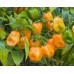 Peper Habanero Orange ( Хабанеро оранжевый)