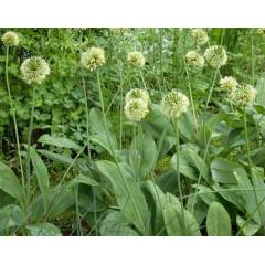 Черемша (Allium ursinum) Медвежий лук