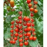 Черри и коктейльные томаты