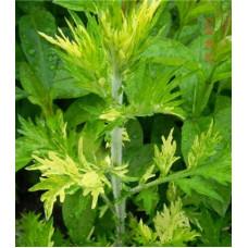 ПОЛЫНЬ ОБЫКНОВЕННАЯ » ЖАНЛИМ» (Artemisia vulgaris «Janlim»)