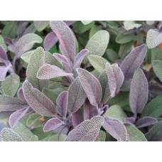Шалфей лекарственный Purpurascens (Salvia officinalis)