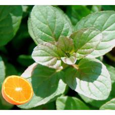 Мята апельсиновая (M. aquatica 'Citrata').