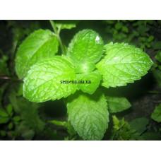 Мята Грейфруктовая (Grapefruit mint)