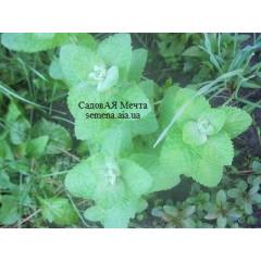 Мята Яблочная, Mentha rotundifolia var. suaveolens