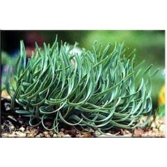 Allium senescens glaucum, Лук стареющий.