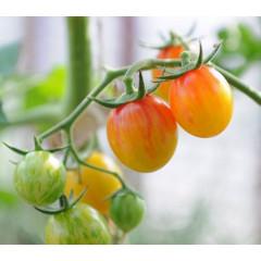 Золотой Шмель (Golden Bumble Bee Tomato)