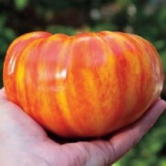 Большая радуга (Big Rainbow Tomato)